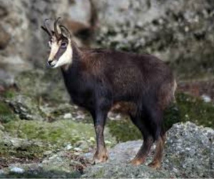 Chamois is one of the game species in southern New Zealand